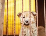 Saving dogs from the Korean dog meat trade