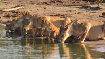 Lions drinking from local water hole