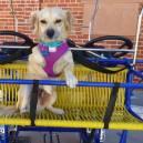 Skipper the Travel Dog